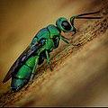20200chrysididae.jpg