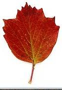 2020 year. Herbarium. Trees. img-063.jpg