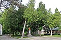 46-106-5009 Drohobych Group of Taxus Baccata RB.jpg