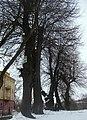 46-209-5009 Городок, вікові дерева.jpg