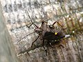 4768 - Stechelberg - Pentatomidae.JPG