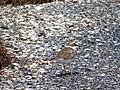 48-251-5002 Кулик - пісочник малий на узбережжі лиману.jpg