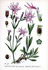 Kukučka lúčna (Lychnis flos-cuculi)