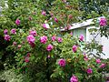 8 Foot Tall Rose Bush (5128130644).jpg