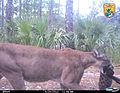 9 24 12 - Florida panther with kitten (8290889937).jpg