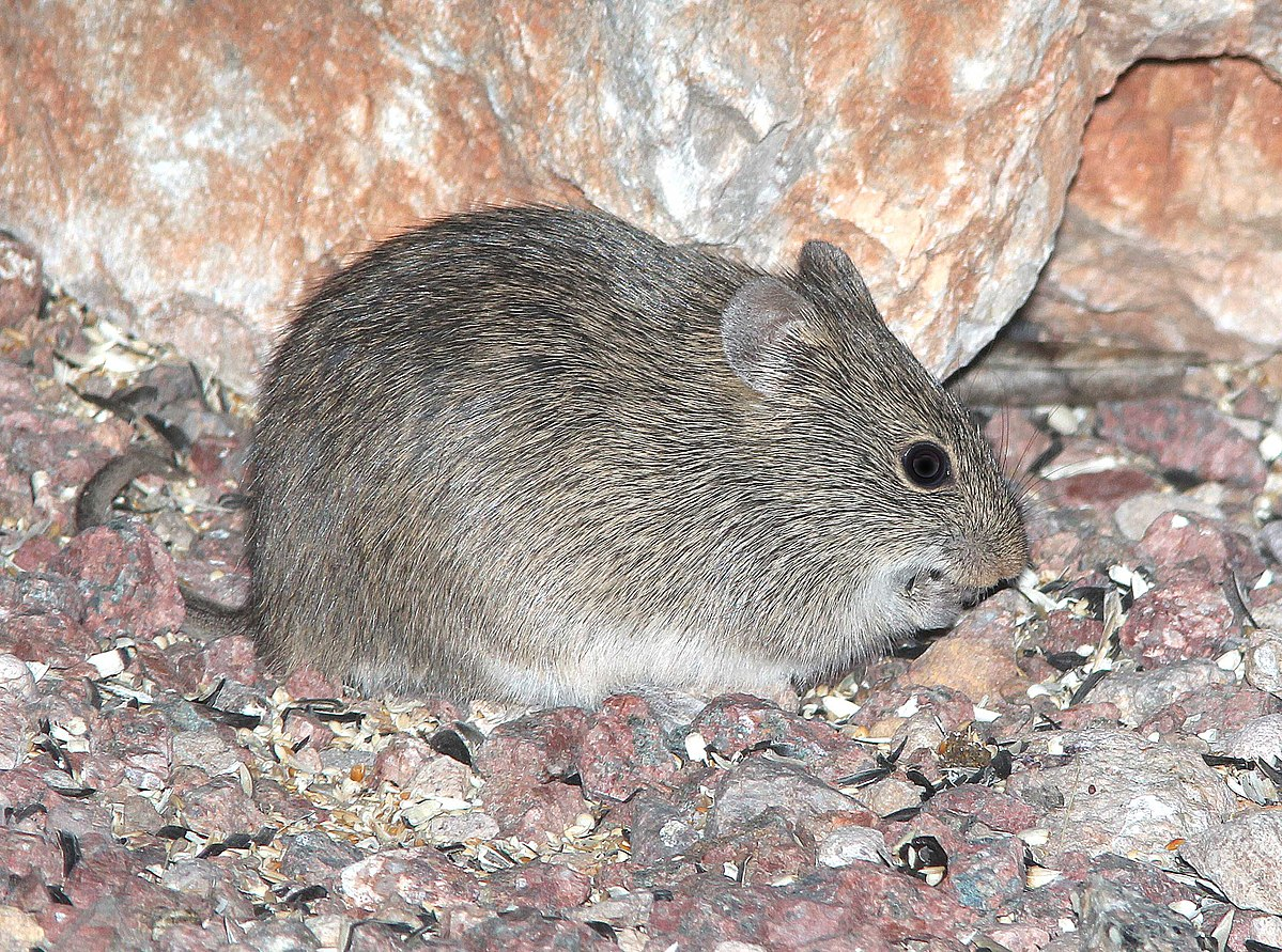 Arizona Cotton Rat Wikipedia