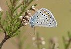 A Common Blue - Polyommatus icarus 02.jpg