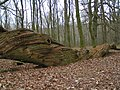 A Tree Dragon, Savernake forest - geograph.org.uk - 1047573.jpg
