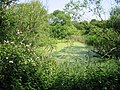 A green ditch on the Stodmarsh nature reserve - geograph.org.uk - 462397.jpg