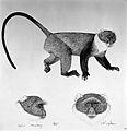 A monkey (Mitis monkey). Lithograph by Jonathan Kingdon. Wellcome L0024956.jpg