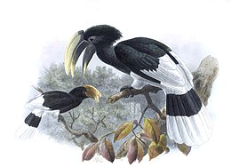 A monograph of the Bucerotidæ, or family of the hornbills (Plate XXXI) (7090229887) (cropped).jpg