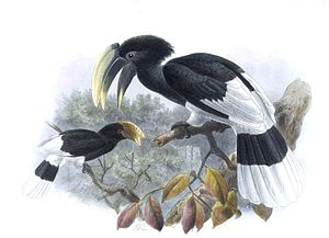White-thighed hornbill - Image: A monograph of the Bucerotidæ, or family of the hornbills (Plate XXXI) (7090229887) (cropped)