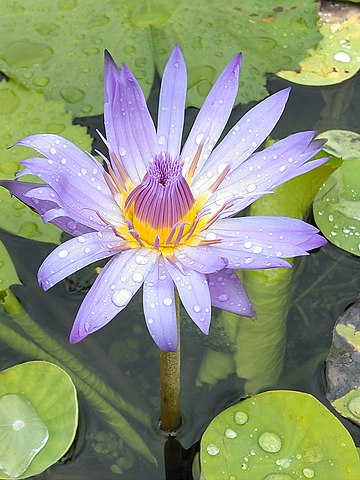 A purple waterlily (nymphaea capensis) after a rain in Vietnam