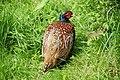 A pheasant at Claybank car park - geograph.org.uk - 1630183.jpg