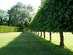 A row of pleached lime trees in the garden of ...