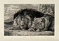 A sleeping lion and lioness. Etching by A Lurat after J F Le Wellcome V0021507.jpg