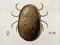 A tick (Argas persicas). Coloured drawing by A.J.E. Terzi. Wellcome V0022544.jpg
