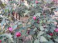 Abutilon hybridum nabob-2-shevaroy nursery-yercaud-salem-India.jpg