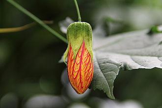 Abutilon pictum - Abutilon striatum