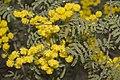 Acacia cardiophylla.jpg