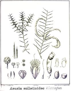 <i>Acacia colletioides</i> Species of legume