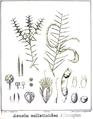 Acacia colletoides.PNG