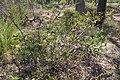 Acacia complanata.jpg