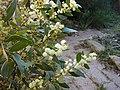 Acacia myrtifolia.JPG