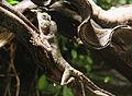 Acanthosaura capra, Zoo Prague 4.jpg