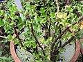 Acanthus ilicifolius-1-JNTBGRI-palode-kerala-India.jpg