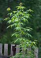Acer-saccharum-'Brocade'.jpg