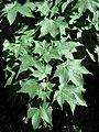 Acer cappadocicum.jpg