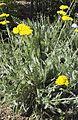 Achilea clypeolata Sibth et Sm. Goldquirlgarbe (Asteraceae)-2F.jpg