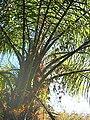 Acrocomia mexicana03.jpg