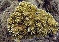 Acropora variabilis Réunion.jpg