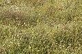 Acrotome inflata dans les herbes de la Savane.jpg