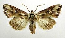 Actinotia polyodon.jpg