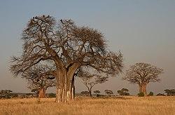 finns mången på savannen korsord