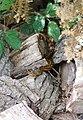 Adder at the British Wildlife Centre, Newchapel, Surrey - geograph.org.uk - 2004273.jpg