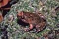 Adelotus brevis02.jpg
