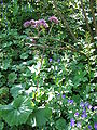 Adenostyles alliariae.jpg