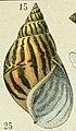 Adolphe Millot mollusques achatine.jpg