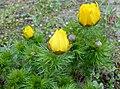 Adonis vernalis 2015-04-16 212.jpg