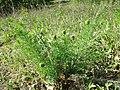 Adonis vernalis sl68.jpg