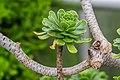 Aeonium dodrantale in Botanischer Garten Muenster (1).jpg