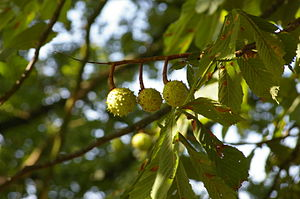3 Aesculus hippocastanum fruit hanging at the tree