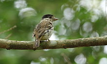 African broadbill, Smithornis capensis.jpg
