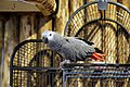 African grey parrot, Psittacus erithacus 01.jpg