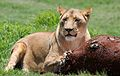 African lion, Panthera leo at Krugersdorp Game Park, South Africa (31157214132).jpg