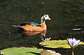 African pygmy goose, Nettapus auritus, at Muirhead Dams, Royal Macadamia Plantations, Machado, Limpopo, South Africa - male (26210431045).jpg